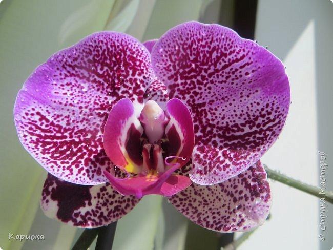 Здравствуйте жители См! Сегодня я к вам не с рукотвроными цветочками а с живыми!  Хочу представить вам мою цветочную любовь! Мои орхидеи))  фото 8