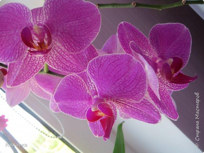 Здравствуйте жители См! Сегодня я к вам не с рукотвроными цветочками а с живыми!  Хочу представить вам мою цветочную любовь! Мои орхидеи))  фото 21