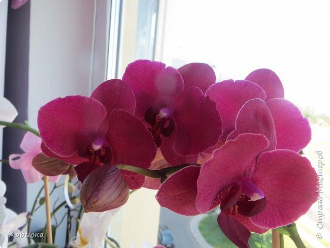 Здравствуйте жители См! Сегодня я к вам не с рукотвроными цветочками а с живыми!  Хочу представить вам мою цветочную любовь! Мои орхидеи))  фото 22