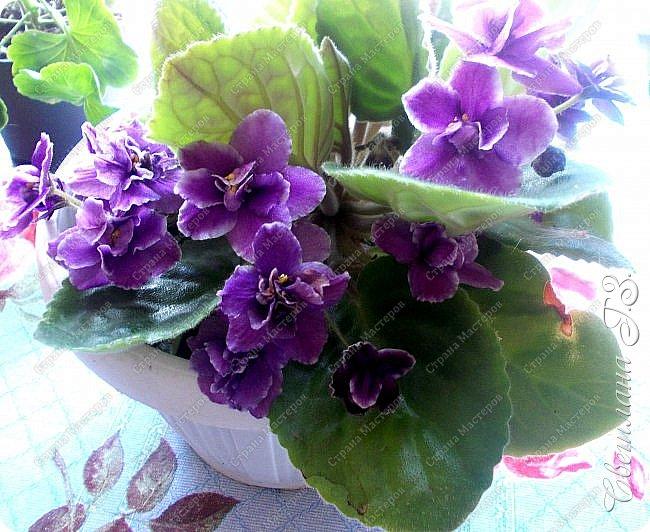 Купила семена Пеларгонии(герань) и вот что выросло у меня из семян.Посмотрите,какая красота!!!Пеларгония королевская. Это название дали ей не случайно – она действительно самая красивая и выдающая представительница в своем роде, поскольку её цветы имеют окрас от нежно-розового до темно-бардового, но у каждого лепестка есть черные вкрапления, которые придают ему глубину. Цветки зачастую крупные, края волнистые. Как настоящая королева, герань королевская очень капризна и показывается людям ненадолго – её цветение начинается весной и заканчивается уже в начале лета,а у меня ещё цветёт! фото 3