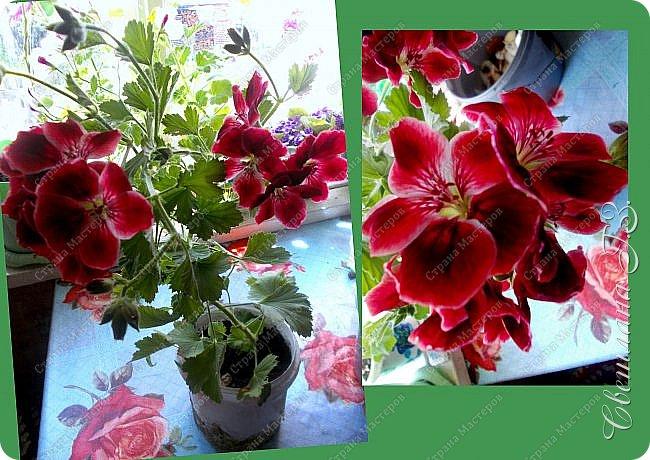 Купила семена Пеларгонии(герань) и вот что выросло у меня из семян.Посмотрите,какая красота!!!Пеларгония королевская. Это название дали ей не случайно – она действительно самая красивая и выдающая представительница в своем роде, поскольку её цветы имеют окрас от нежно-розового до темно-бардового, но у каждого лепестка есть черные вкрапления, которые придают ему глубину. Цветки зачастую крупные, края волнистые. Как настоящая королева, герань королевская очень капризна и показывается людям ненадолго – её цветение начинается весной и заканчивается уже в начале лета,а у меня ещё цветёт! фото 1