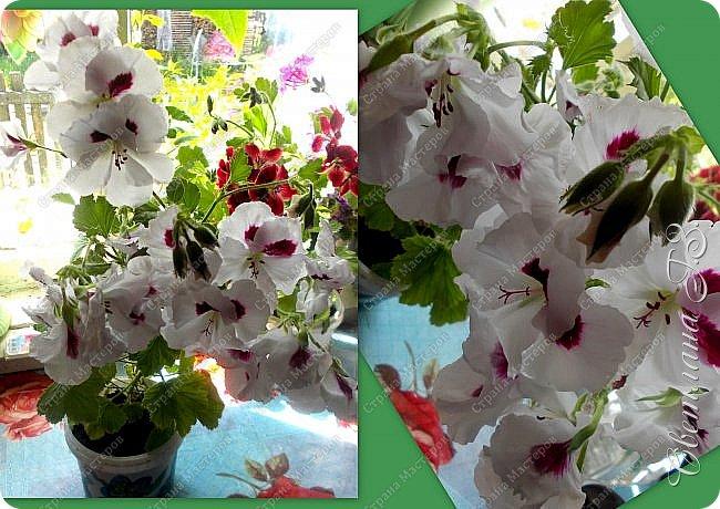 Купила семена Пеларгонии(герань) и вот что выросло у меня из семян.Посмотрите,какая красота!!!Пеларгония королевская. Это название дали ей не случайно – она действительно самая красивая и выдающая представительница в своем роде, поскольку её цветы имеют окрас от нежно-розового до темно-бардового, но у каждого лепестка есть черные вкрапления, которые придают ему глубину. Цветки зачастую крупные, края волнистые. Как настоящая королева, герань королевская очень капризна и показывается людям ненадолго – её цветение начинается весной и заканчивается уже в начале лета,а у меня ещё цветёт! фото 2