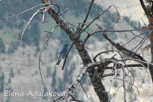 Продолжаю делится впечатлениями от поездки в Йе́ллоустон (Yellowstone National Park)— международный биосферный заповедник, объект Всемирного Наследия ЮНЕСКО, первый в мире национальный парк (основан 1 марта 1872 года). Находится в США, на территории штатов Вайоминг, Монтана и Айдахо. Парк знаменит многочисленными гейзерами и другими геотермическими объектами, богатой живой природой, живописными ландшафтами. ( взято из Википедии ) Мы останавливались в кемпингах в палатках. Парк произвел на нас огромное впечатление. Очень хочется поделится с вами красотой которую я увидела. В один фоторепортаж трудно вместить все увиденное поэтому это уже четвертый и будут еще...  фото 17
