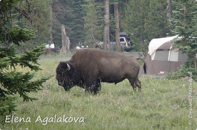 Продолжаю делится впечатлениями от поездки в Йе́ллоустон (Yellowstone National Park)— международный биосферный заповедник, объект Всемирного Наследия ЮНЕСКО, первый в мире национальный парк (основан 1 марта 1872 года). Находится в США, на территории штатов Вайоминг, Монтана и Айдахо. Парк знаменит многочисленными гейзерами и другими геотермическими объектами, богатой живой природой, живописными ландшафтами. ( взято из Википедии ) Мы останавливались в кемпингах в палатках. Парк произвел на нас огромное впечатление. Очень хочется поделится с вами красотой которую я увидела. В один фоторепортаж трудно вместить все увиденное поэтому это уже четвертый и будут еще...  фото 33