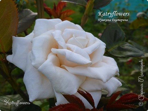 """Люблю я фотографировать свои цветы в самых неожиданных местах - например, на клумбе. С моей маленькой подружкой мы обегали всю клумбу, и сейчас из ста сделанных фотографий вы видите самые лучшие.  Две чудесные """"герцогини"""" на одном кусте)) Пока это просто две розы, а вот что сделать с ними, я еще не придумала. Если у вас появится неожиданная и оригинальная мысль - сразу пишите мне.   фото 1"""