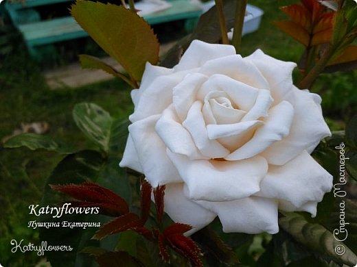 """Люблю я фотографировать свои цветы в самых неожиданных местах - например, на клумбе. С моей маленькой подружкой мы обегали всю клумбу, и сейчас из ста сделанных фотографий вы видите самые лучшие.  Две чудесные """"герцогини"""" на одном кусте)) Пока это просто две розы, а вот что сделать с ними, я еще не придумала. Если у вас появится неожиданная и оригинальная мысль - сразу пишите мне.   фото 6"""