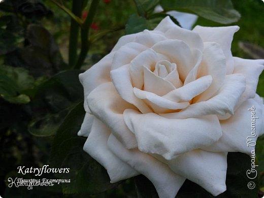 """Люблю я фотографировать свои цветы в самых неожиданных местах - например, на клумбе. С моей маленькой подружкой мы обегали всю клумбу, и сейчас из ста сделанных фотографий вы видите самые лучшие.  Две чудесные """"герцогини"""" на одном кусте)) Пока это просто две розы, а вот что сделать с ними, я еще не придумала. Если у вас появится неожиданная и оригинальная мысль - сразу пишите мне.   фото 3"""