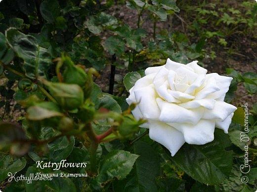 """Люблю я фотографировать свои цветы в самых неожиданных местах - например, на клумбе. С моей маленькой подружкой мы обегали всю клумбу, и сейчас из ста сделанных фотографий вы видите самые лучшие.  Две чудесные """"герцогини"""" на одном кусте)) Пока это просто две розы, а вот что сделать с ними, я еще не придумала. Если у вас появится неожиданная и оригинальная мысль - сразу пишите мне.   фото 5"""