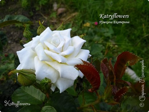 """Люблю я фотографировать свои цветы в самых неожиданных местах - например, на клумбе. С моей маленькой подружкой мы обегали всю клумбу, и сейчас из ста сделанных фотографий вы видите самые лучшие.  Две чудесные """"герцогини"""" на одном кусте)) Пока это просто две розы, а вот что сделать с ними, я еще не придумала. Если у вас появится неожиданная и оригинальная мысль - сразу пишите мне.   фото 4"""