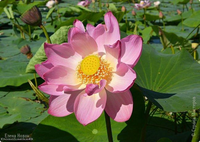 Прелестный лотоса цветок, Взор лишь тобою очарован, Как близок ты и как далёк, Стою, тобою околдована. Sofi фото 1