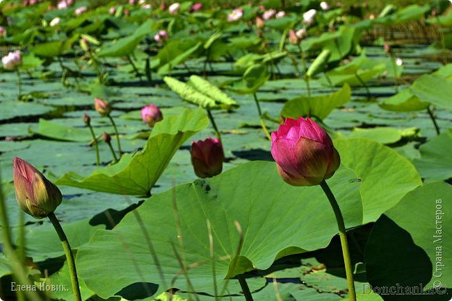 Прелестный лотоса цветок, Взор лишь тобою очарован, Как близок ты и как далёк, Стою, тобою околдована. Sofi фото 5