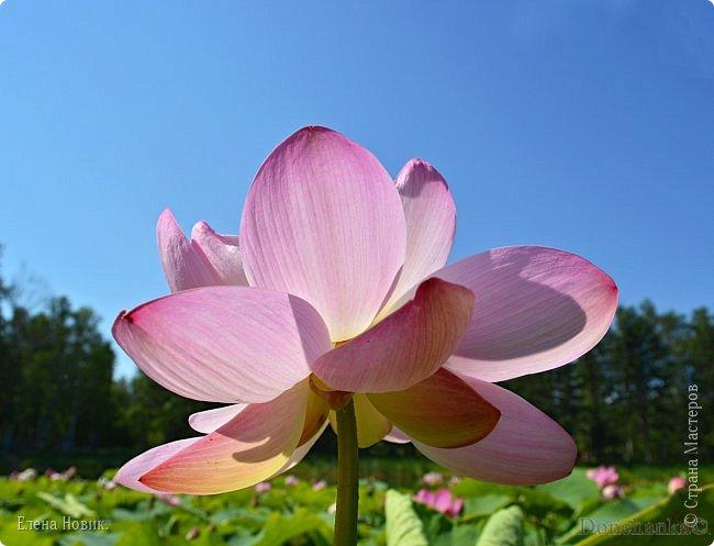 Прелестный лотоса цветок, Взор лишь тобою очарован, Как близок ты и как далёк, Стою, тобою околдована. Sofi фото 7