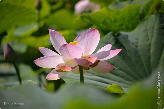 Прелестный лотоса цветок, Взор лишь тобою очарован, Как близок ты и как далёк, Стою, тобою околдована. Sofi фото 9