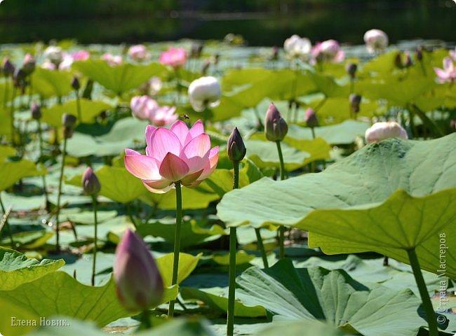 Прелестный лотоса цветок, Взор лишь тобою очарован, Как близок ты и как далёк, Стою, тобою околдована. Sofi фото 12