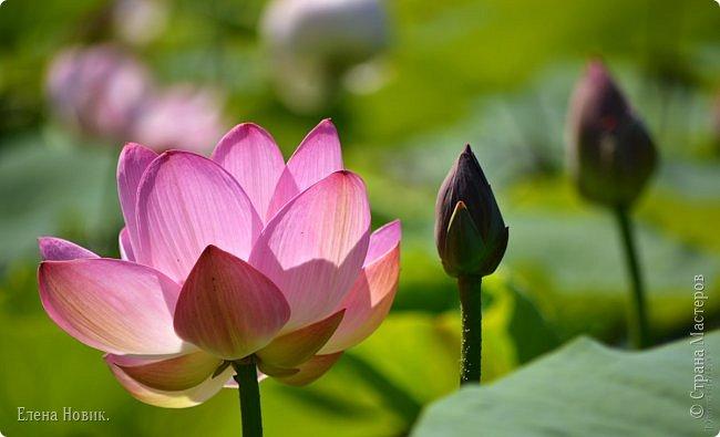 Прелестный лотоса цветок, Взор лишь тобою очарован, Как близок ты и как далёк, Стою, тобою околдована. Sofi фото 13
