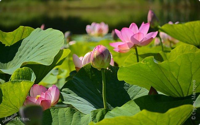 Прелестный лотоса цветок, Взор лишь тобою очарован, Как близок ты и как далёк, Стою, тобою околдована. Sofi фото 14
