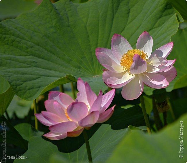 Прелестный лотоса цветок, Взор лишь тобою очарован, Как близок ты и как далёк, Стою, тобою околдована. Sofi фото 15