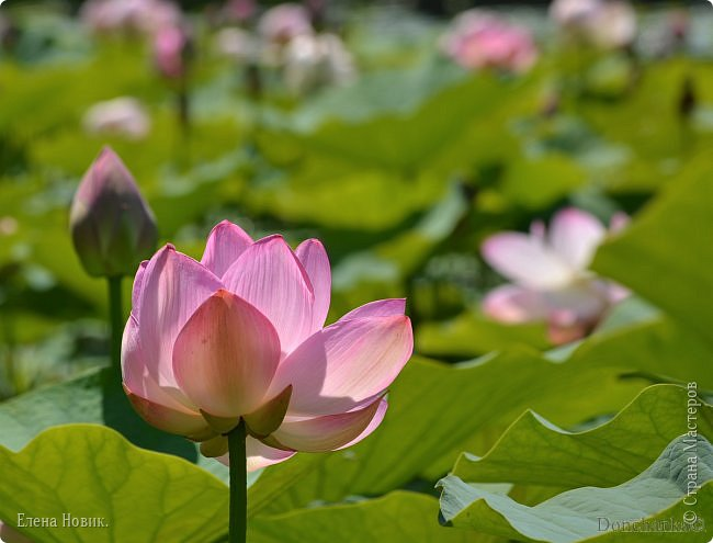 Прелестный лотоса цветок, Взор лишь тобою очарован, Как близок ты и как далёк, Стою, тобою околдована. Sofi фото 16