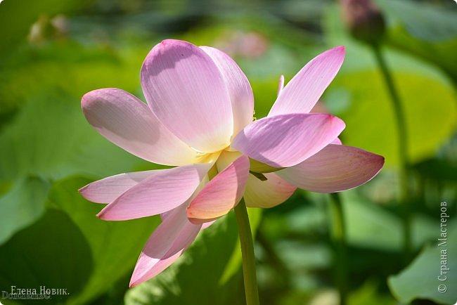 Прелестный лотоса цветок, Взор лишь тобою очарован, Как близок ты и как далёк, Стою, тобою околдована. Sofi фото 17
