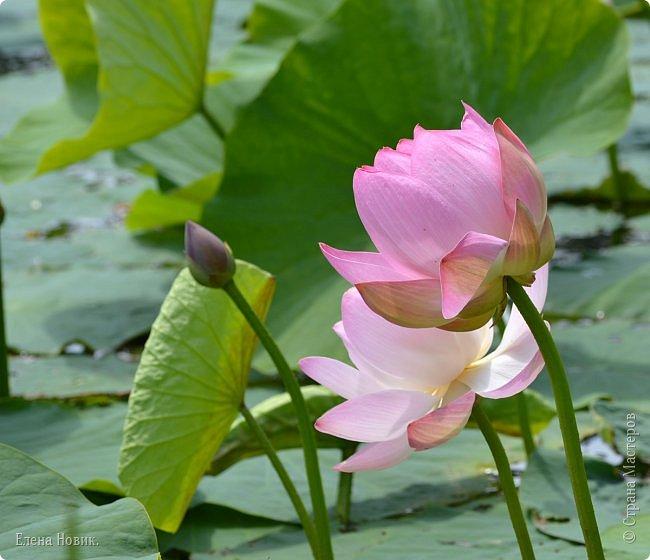 Прелестный лотоса цветок, Взор лишь тобою очарован, Как близок ты и как далёк, Стою, тобою околдована. Sofi фото 20