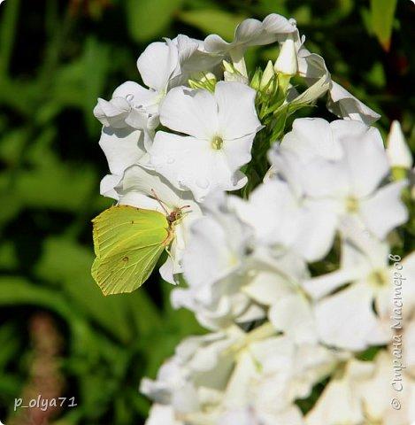 Здравствуйте,мои дорогие!!! Лето наступило,цветочки постепенно распускаются,вот и хочу я показать,что у меня раскрылось за период 25.07.17-01.08.17 ))) 25.07.17 Настурция. фото 81