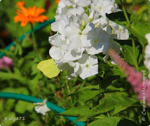 Здравствуйте,мои дорогие!!! Лето наступило,цветочки постепенно распускаются,вот и хочу я показать,что у меня раскрылось за период 25.07.17-01.08.17 ))) 25.07.17 Настурция. фото 80