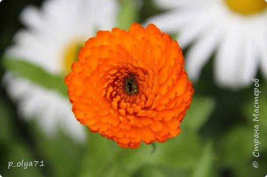 Здравствуйте,мои дорогие!!! Лето наступило,цветочки постепенно распускаются,вот и хочу я показать,что у меня раскрылось за период 25.07.17-01.08.17 ))) 25.07.17 Настурция. фото 3