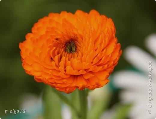 Здравствуйте,мои дорогие!!! Лето наступило,цветочки постепенно распускаются,вот и хочу я показать,что у меня раскрылось за период 25.07.17-01.08.17 ))) 25.07.17 Настурция. фото 2