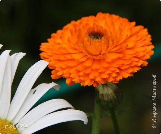 Здравствуйте,мои дорогие!!! Лето наступило,цветочки постепенно распускаются,вот и хочу я показать,что у меня раскрылось за период 25.07.17-01.08.17 ))) 25.07.17 Настурция. фото 5