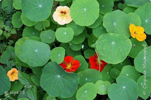 Здравствуйте,мои дорогие!!! Лето наступило,цветочки постепенно распускаются,вот и хочу я показать,что у меня раскрылось за период 25.07.17-01.08.17 ))) 25.07.17 Настурция. фото 1