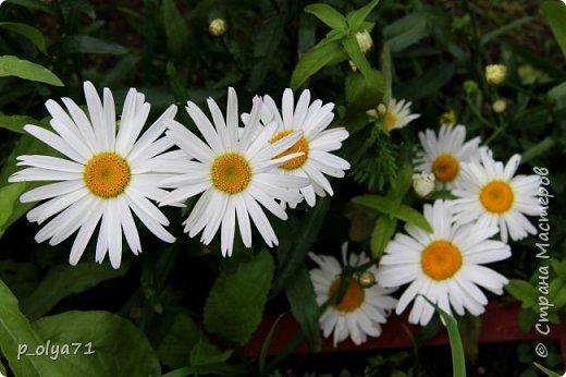 Здравствуйте,мои дорогие!!! Лето наступило,цветочки постепенно распускаются,вот и хочу я показать,что у меня раскрылось за период 25.07.17-01.08.17 ))) 25.07.17 Настурция. фото 14