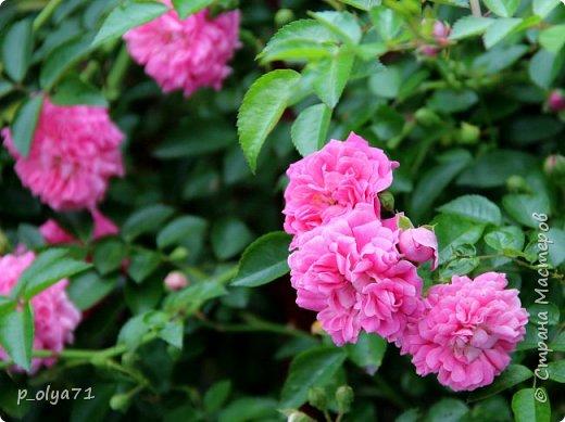 Здравствуйте,мои дорогие!!! Лето наступило,цветочки постепенно распускаются,вот и хочу я показать,что у меня раскрылось за период 25.07.17-01.08.17 ))) 25.07.17 Настурция. фото 10