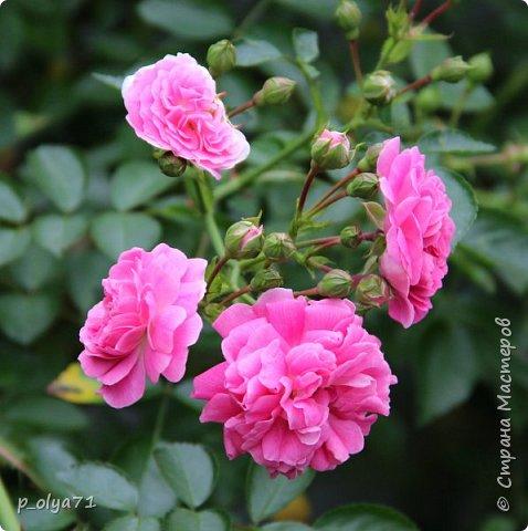 Здравствуйте,мои дорогие!!! Лето наступило,цветочки постепенно распускаются,вот и хочу я показать,что у меня раскрылось за период 25.07.17-01.08.17 ))) 25.07.17 Настурция. фото 12