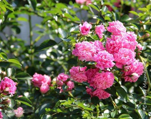 Здравствуйте,мои дорогие!!! Лето наступило,цветочки постепенно распускаются,вот и хочу я показать,что у меня раскрылось за период 25.07.17-01.08.17 ))) 25.07.17 Настурция. фото 42
