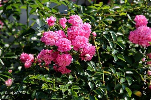 Здравствуйте,мои дорогие!!! Лето наступило,цветочки постепенно распускаются,вот и хочу я показать,что у меня раскрылось за период 25.07.17-01.08.17 ))) 25.07.17 Настурция. фото 43