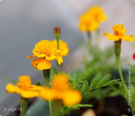 Здравствуйте,мои дорогие!!! Лето наступило,цветочки постепенно распускаются,вот и хочу я показать,что у меня раскрылось за период 25.07.17-01.08.17 ))) 25.07.17 Настурция. фото 51