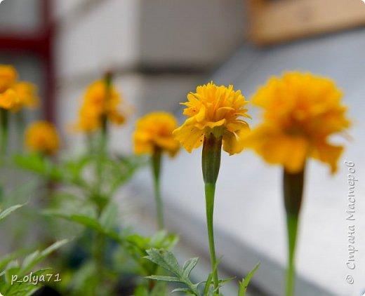 Здравствуйте,мои дорогие!!! Лето наступило,цветочки постепенно распускаются,вот и хочу я показать,что у меня раскрылось за период 25.07.17-01.08.17 ))) 25.07.17 Настурция. фото 52