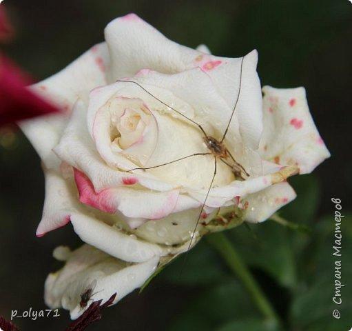 Здравствуйте,мои дорогие!!! Лето наступило,цветочки постепенно распускаются,вот и хочу я показать,что у меня раскрылось за период 25.07.17-01.08.17 ))) 25.07.17 Настурция. фото 62