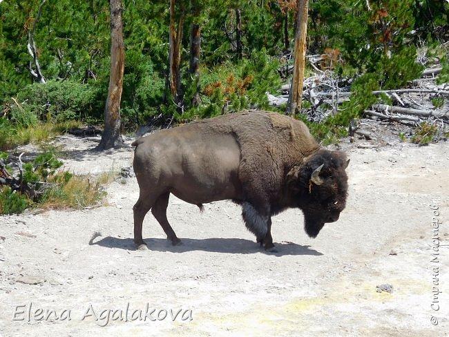 Продолжаю делится впечатлениями от поездки в Йе́ллоустон (Yellowstone National Park)— международный биосферный заповедник, объект Всемирного Наследия ЮНЕСКО, первый в мире национальный парк (основан 1 марта 1872 года). Находится в США, на территории штатов Вайоминг, Монтана и Айдахо. Парк знаменит многочисленными гейзерами и другими геотермическими объектами, богатой живой природой, живописными ландшафтами. ( взято из Википедии ) Мы останавливались в кемпингах в палатках. Парк произвел на нас огромное впечатление. Очень хочется поделится с вами красотой которую я увидела. В один фоторепортаж трудно вместить все увиденное поэтому это уже шестой и будут еще...  Жалко что при загрузке фото уменьшаются и теряется качество поэтому смотрятся картинки плоско... но с этим я ничего поделать не могу. фото 31