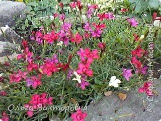 Лето в разгаре, не смотря на казусы погоды  за окном все цветет и благоухает. Каждую свободную минутку уделяю своему любимому саду, каждый день он старается порадовать меня чем то новеньким. Хочу  сегодня поделиться минутами радости с вами и показать свой маленький райский уголок  фото 23