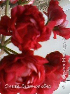 Добрый вечер дорогие мастера и мастерицы! Я снова к вам с красотой лета-цветами. Хочу показать вам сегодня свои небольшие коллекции бальзаминов и гераней, которые я на протяжении нескольких лет выращиваю из семян фото 3