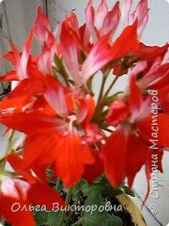 Добрый вечер дорогие мастера и мастерицы! Я снова к вам с красотой лета-цветами. Хочу показать вам сегодня свои небольшие коллекции бальзаминов и гераней, которые я на протяжении нескольких лет выращиваю из семян фото 12