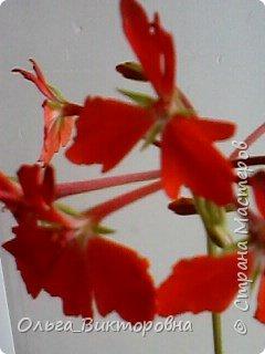 Добрый вечер дорогие мастера и мастерицы! Я снова к вам с красотой лета-цветами. Хочу показать вам сегодня свои небольшие коллекции бальзаминов и гераней, которые я на протяжении нескольких лет выращиваю из семян фото 13