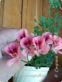 Добрый вечер дорогие мастера и мастерицы! Я снова к вам с красотой лета-цветами. Хочу показать вам сегодня свои небольшие коллекции бальзаминов и гераней, которые я на протяжении нескольких лет выращиваю из семян фото 18