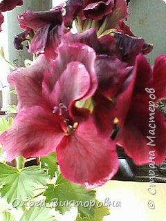 Добрый вечер дорогие мастера и мастерицы! Я снова к вам с красотой лета-цветами. Хочу показать вам сегодня свои небольшие коллекции бальзаминов и гераней, которые я на протяжении нескольких лет выращиваю из семян фото 14