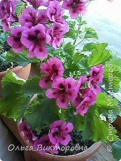 Добрый вечер дорогие мастера и мастерицы! Я снова к вам с красотой лета-цветами. Хочу показать вам сегодня свои небольшие коллекции бальзаминов и гераней, которые я на протяжении нескольких лет выращиваю из семян фото 15