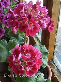 Добрый вечер дорогие мастера и мастерицы! Я снова к вам с красотой лета-цветами. Хочу показать вам сегодня свои небольшие коллекции бальзаминов и гераней, которые я на протяжении нескольких лет выращиваю из семян фото 10