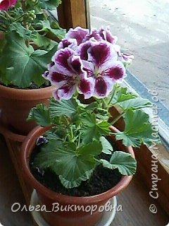 Добрый вечер дорогие мастера и мастерицы! Я снова к вам с красотой лета-цветами. Хочу показать вам сегодня свои небольшие коллекции бальзаминов и гераней, которые я на протяжении нескольких лет выращиваю из семян фото 16