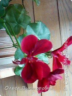 Добрый вечер дорогие мастера и мастерицы! Я снова к вам с красотой лета-цветами. Хочу показать вам сегодня свои небольшие коллекции бальзаминов и гераней, которые я на протяжении нескольких лет выращиваю из семян фото 17