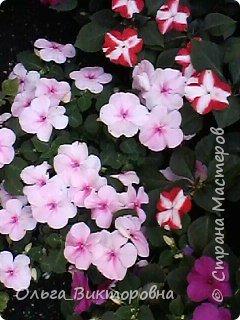 Добрый вечер дорогие мастера и мастерицы! Я снова к вам с красотой лета-цветами. Хочу показать вам сегодня свои небольшие коллекции бальзаминов и гераней, которые я на протяжении нескольких лет выращиваю из семян фото 21